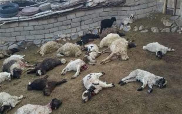 گرگهای گرسنه ۷۵ رأس گوسفند را دریدند