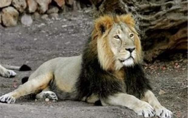جزئیات حمله شیر به یک مسئول در قزوین