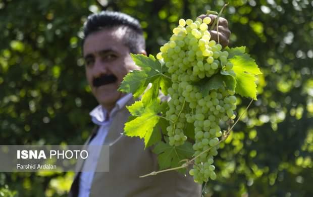 "تهیه کشمش به سبک مردم «بولاو» کردستان  <img src=""http://cdn.jahannews.com/images/picture_icon.gif"" width=""16"" height=""13"" border=""0"" align=""top"">"