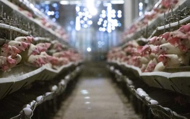 قیمت مرغ گَرم در بازار چقدر است؟