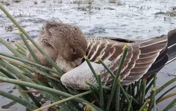 آخرین وضعیت آنفلوآنزای پرندگان