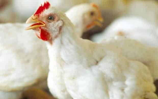 یک شرکت تولید مرغ اجداد به بورس آمد