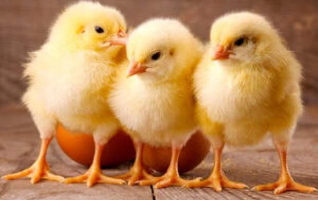 قاچاق جوجه یک روزه؛معضل جدید قیمت مرغ