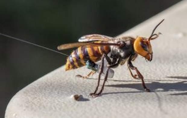 استفاده از زنبور به عنوان تست کرونا!