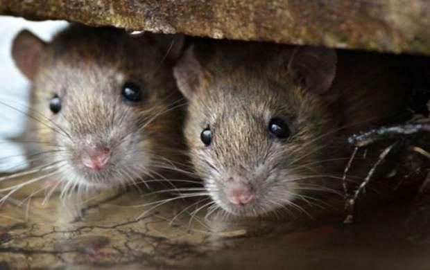 یک موش بزرگ مجلس را تعطیل کرد!