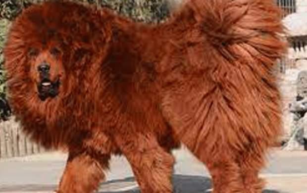 سگ غول پیکر ماستیف تبتی +فیلم