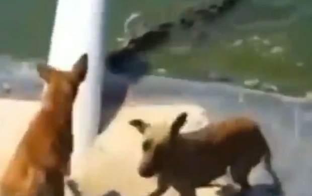 شکار ناگهانی سگ توسط کروکدیل +فیلم