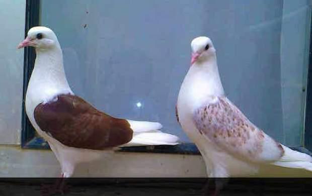 عشق را از این کبوتر بیاموزید +فیلم